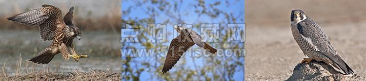 欧洲蓝斑蜥蜴_2014-2猛禽二编年特种邮票_禽2_猛禽(二) - 点购收藏网